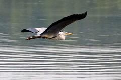 Grey Heron (robin denton) Tags: bird heron nature wildlife waterbird greyheron rspb leightonmoss rspbreserve