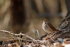 Hermit Thrush (debbiehale71724) Tags: birds wildlife hermit thrush