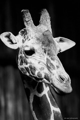 Giraffe (dpsager) Tags: bw film giraffe lincolnparkzoo eos1v fujineopan400 canoneos1v bwgallery dpsagerphotography