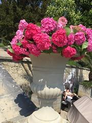 20160505_Baden_i_04 (weisserstier) Tags: park flower spring hydrangea blume baden blte niedersterreich frhling hortensie loweraustria kurpark
