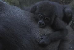 Taronga's Gorillas 2 (trisharooni) Tags: gorilla tarongazoo primates
