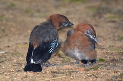 """Open your eyes, please..."" (tune505) Tags: bird nature outdoor wildlife seoul chicks sibling babybird eurasianjay"