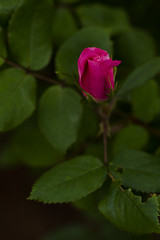 Canon FD 100mm F4 macro(_DSC5423) (gnuelkevin) Tags: flowers roses island spring buds staten 2016