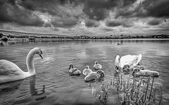 On The Lake Today (happymillerman) Tags: swans cygnets tonemapped thryberghcountrypark thryberghreserviour