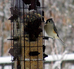 tufted titmouse at feeder, snowing, 16 Jan 2016 (mwms1916) Tags: bird garden birdfeeder titmouse tuftedtitmouse garden2016