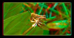 Tiny Grasshopper 2 - Anaglyph 3D (DarkOnus) Tags: macro closeup stereogram 3d phone pennsylvania cell anaglyph stereo tiny grasshopper stereography buckscounty huawei mate8 darkonus