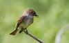 Eastern Phoebe_53F5204-Edit (~ Michaela Sagatova ~) Tags: easternphoebe flycatcher birdphotography michaelasagatova