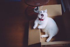 lou in a box (Nazra Z.) Tags: munchkin tabby cat male sitting box natural light window home vscofilm raw 2016