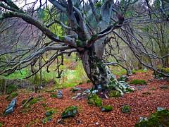 Alte Buche (torremundo) Tags: wald buche graubnden tamins surselva naturaufnahmen alterbaum