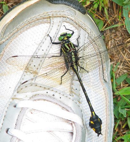 Blackwater clubtail - dancing on my shoe (Gomphus (Gomphurus) dilatatus)