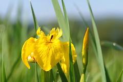 20160526-089F (m-klueber.de) Tags: iris flora rhn iridaceae schwertlilie 2016 pseudacorus unterfranken europische sumpfschwertlilie mainfranken rhnflora schwertliliengewchse mitteleuropische mkbildkatalog 20160526 20160526089f