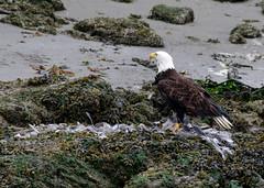 IMGP4719 (annahesser) Tags: blue heron eagle bald