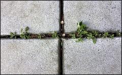 Nature's art. Man's craft. (Bob R.L. Evans) Tags: pattern symmetry sidewalk minimalism minimalsim ipadphotography