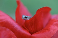 Gotta Kiss for Me? (Connie Etter Photography) Tags: red flower macro beautiful closeup canon 100mm frog poppy froggy 1dx flickrfrog