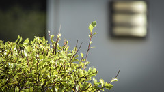 Green Hedge (Theen ...) Tags: adelaide bokeh bright dentist fitting green greenhillroad hedge leaves light lumix pretty sunshine theen wall white