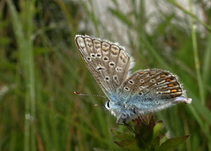 Adonis Blue butterfly (open wing) (stourton) Tags: white butterfly down dorset ballard marbled swanage