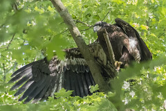 Testing (LanaScape Photos) Tags: michigan wildlife eagles select eaglets