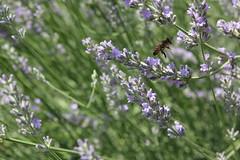 Bee (Paolo Fusari) Tags: flower nature lavender bee ape pollen insetto lavanda polline