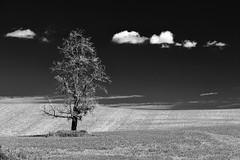 A single tree (barnbin) Tags: bw tree sony single di tamron 28300mm f3563 pzd slta99v