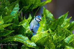 Msange de Nancy (Bouhsina Photography) Tags: blue france flower green bird nature canon wow outside vert bleu nancy oiseau couleur msange brillant ef70200f4 bouhsina 5diii bouhsinaphotography