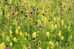 Magerwiese (gripspix (OFF)) Tags: 20160605 nature natur plant pflanze blte blossom magerwiese blhen inbloom poorgrassland
