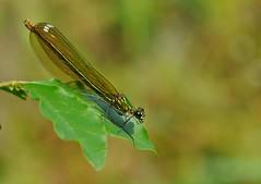 forever green... (andrea.zanaboni) Tags: macro verde green insect nikon dragonfly libellula
