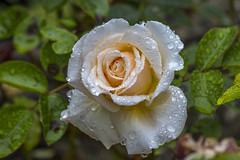 When Beige Is Best (nicklucas2) Tags: plant flower rose waterdrop flowersallkinds