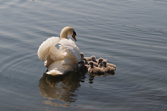 Are All Of You Listening...... (klythawk) Tags: nottingham blue red brown white black reflection nature water grey spring swan beige babies olympus 60mm troutlake cygnets omd em1 colwickpark