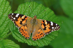 D71_9976A (vkalivoda) Tags: motl butterfly schmetterling insect macro depthoffield bokeh serene makro babokabodlkov vanessacardui babkabodliakov paintedlady distelfalter