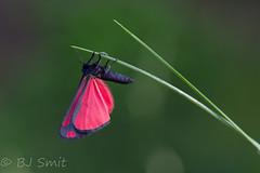 Explored - Almost ready (BJSmit) Tags: moth explored explore netherlands zundert tyriajacobaeae tyria
