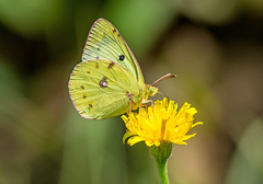 DSC5199 Clouded Yellow.. (jefflack Wildlife&Nature) Tags: nature butterfly insect countryside wildlife butterflies insects lepidoptera cloudedyellow coth5