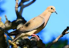 mourning dove at Lake Meyer Park IA 854A0421 (lreis_naturalist) Tags: park county lake mourning dove reis iowa larry meyer winneshiek