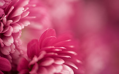 How Deep Is Your Love (setoboonhong ( away )) Tags: pink flower macro love nature field is petals colours song deep bee your gees pastels how 1977 depth chrysanthemums
