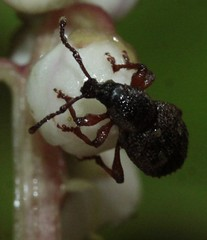weevil indet (BSCG (Badenoch and Strathspey Conservation Group)) Tags: rotsd
