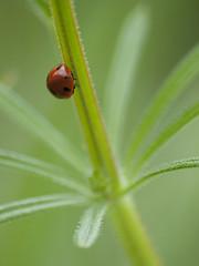Parachute -* (Titole) Tags: red green ladybird ladybug thechallengefactory gailletgratteron titole nicolefaton