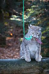 Yummy (Cloudtail the Snow Leopard) Tags: animal cat mammal feline katze lynx tier pforzheim wildpark luchs sugetier pinselohr