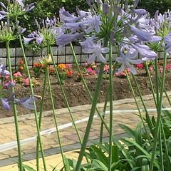 (eyawlk60) Tags: summer flower beautiful purple  agapanthus agapanthusafricanus  africanus