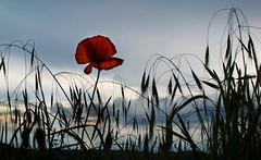 Poppy (jamietaylor2127) Tags: uk sunset flower nature field downs landscape evening dusk ngc poppy dunstable sigma30mm gf6