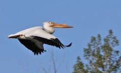 American White Pelican  1405 (robenglish64) Tags: americanwhitepelican