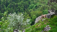 Le contemplateur  -  The contemplator (Philippe Haumesser Photographies) Tags: trees panorama mountain france tree nature animal forest montagne landscape outside roc landscapes spring sony arbres alsace paysage 169 arbre printemps forests paysages rocher fort vosges elsass rochers 68 panoramique chamois 2016 rocs hautrhin forts sonyalpha6000 sonyilce6000 hihryde