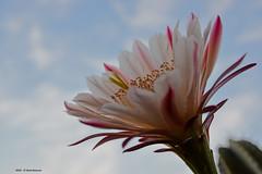 Cereus Peruvianus (Paolo Bonassin) Tags: flowers cactus cactaceae cereus succulente cereusperuvianus cactacee