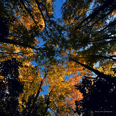 gold and blue (Toky, Lily and George moments) Tags: australia bluesky victoria treetops blueandgold macedonranges converginglines mtmacedon extinctvolcano wideangleview