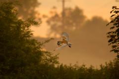 Early Morning Fly-By (jammo s) Tags: bird nature flying wildlife owl barnowl birdofprey bif tytoalba birdinflight canonef400mmf56lusm canoneos80d