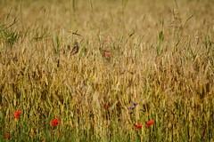 Passero, grano e fiori (MILESI FEDERICO) Tags: summer italy detail nikon europa europe italia estate details piemonte dettagli piedmont valsusa dettaglio 2016 nital valdisusa milesi valledisusa d7100 visitpiedmont valliolimpiche nikond7100 milesifederico