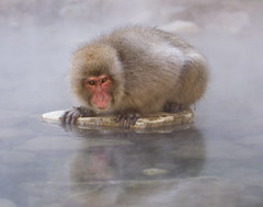 Japan (richard.mcmanus.) Tags: japan japanesemacaque snowmonkeys yudanaka jigokudaniyaenkoen jigokudani mcmanus animal nagano honshu reflection gettyimages primate
