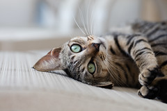 Green Eyed Lily (GRO Photography) Tags: eyes green cat whiskers play kitten furry pet