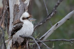 Laughng Kookaburra (dacelo novaeguineae) (Ian Colley Photography) Tags: bird 500mm dacelonovaeguineae laughingkookaburra canoneos7dmarkii
