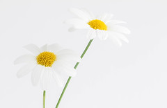 181/366: Two of a kind (judi may) Tags: flowers white flower macro daisies whitebackground daisy marguerite whiteonwhite marguerites canon7d day181366 366the2016edition 3662016 29jun16