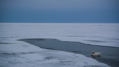 (Stereovisionblog) Tags: white lake snow cold ice swan alone lithuania