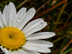 Daisy and Rain Drops (dschultz742) Tags: flower closeup nikon tokina raindrops nikonians kenwoodca d700 tokina100mmf28atxprod davidschultzphotographycom mountbakercameraclub 05062013